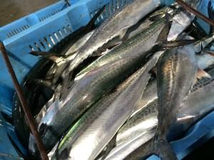 釣りサゴシ