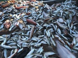 日本海新鮮未利用魚