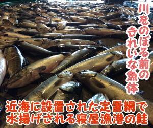 村上市鮭の水揚げ