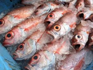 漁師直送昭和丸ノドグロ