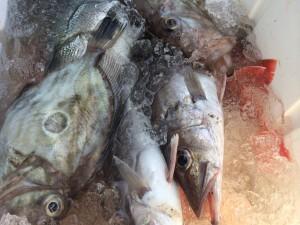 産地直送魚スズキアラ