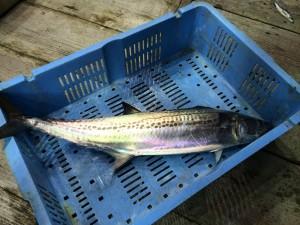 一本釣り鮮魚仕入れ