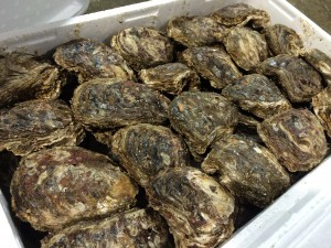 村上市岩牡蠣