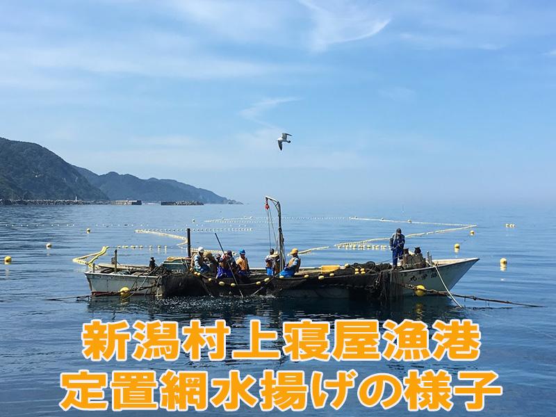 新潟漁協山北支所沖合に設置された定置愛で獲られる白鮭
