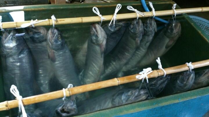 塩引き鮭の塩抜き