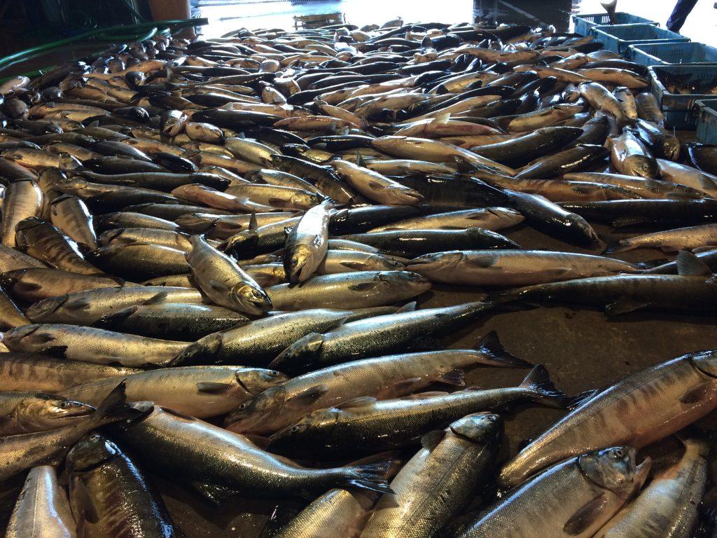 村上の鮭は三面川の居繰網漁(いぐりあみりょう)が有名で、塩引き鮭は川の鮭で作っているというイメージが一般的に浸透していますが、実際に商品として販売されている塩引き鮭のほとんどは海で獲れた鮭を使います。  鮭は川を上る過程で魚体はブナ色に染まっていき、身の脂が抜けて旨味が落ちていきますので、そうなる前の海で水揚げされた銀色の魚体の鮭で作る塩引き鮭が、最も美味しく商品価値の高いものです。