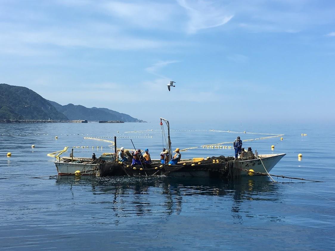新潟村上の鮭を水揚げする定置網漁