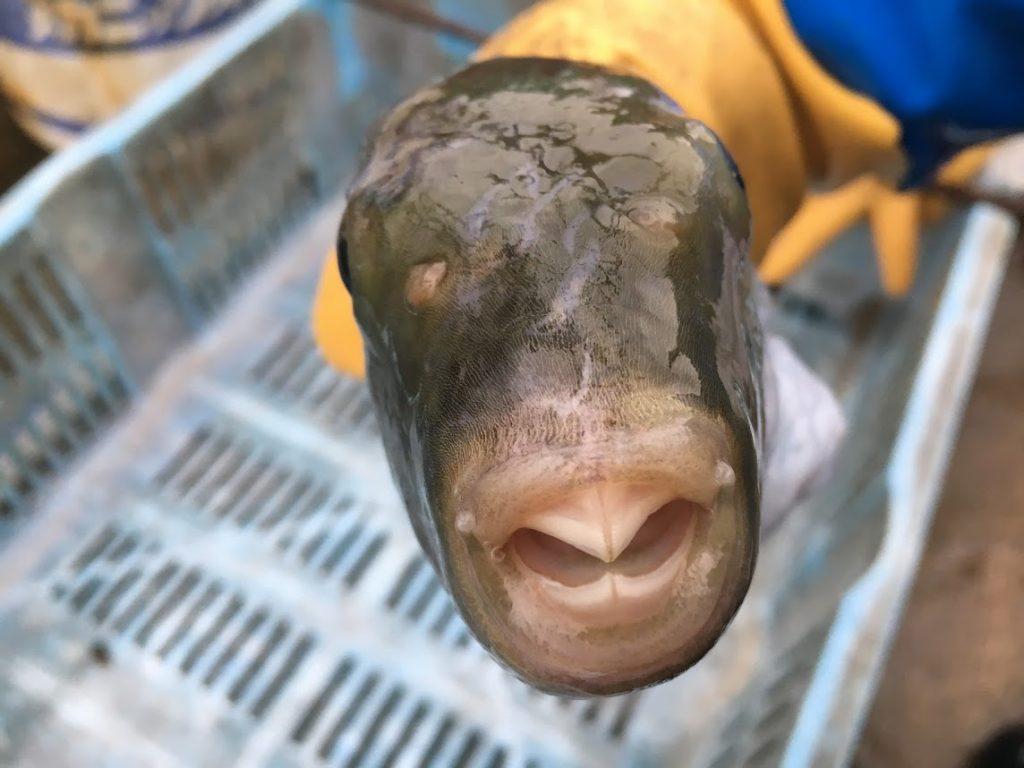正面からみたヨリトフグの顔