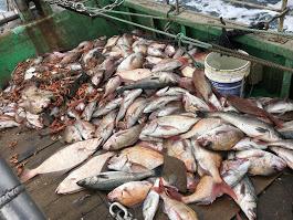 ヒラメ・スズキ・タイ大漁画像