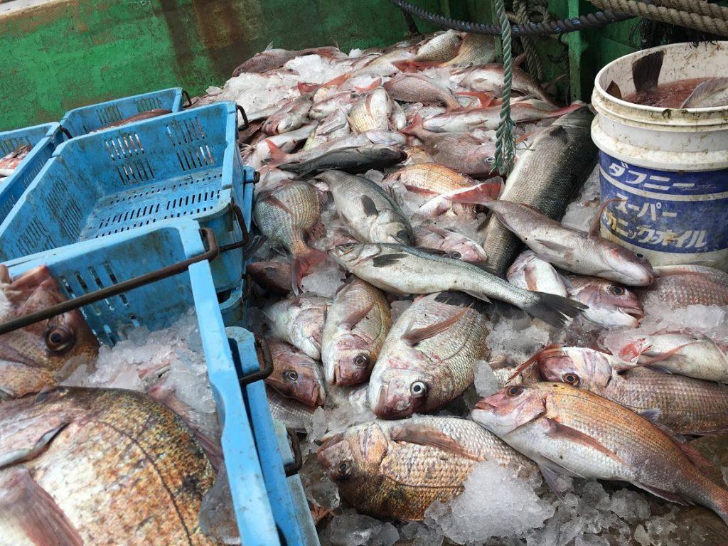 漁船が鯛で満船