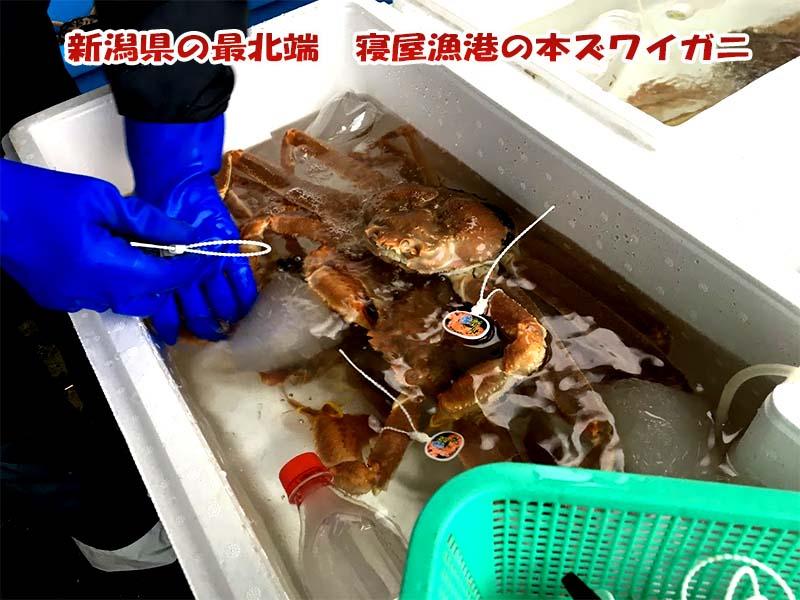新潟漁協山北支所で水揚げされるタグ付き活本ズワイガニ
