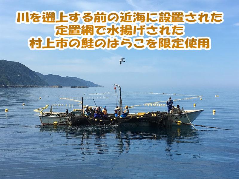 新潟県村上市山北寝屋漁港の定置網で鮭が水揚げされる様子