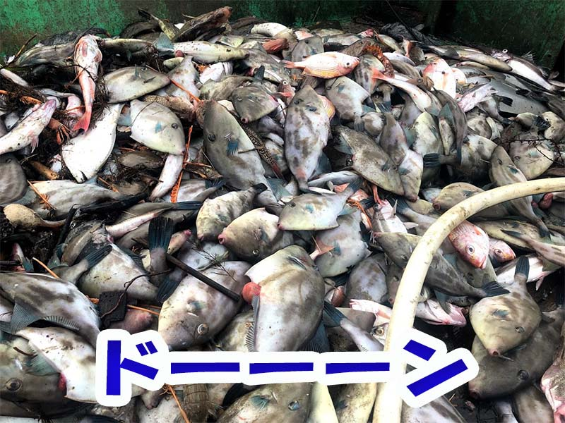 ウマヅラハギが大漁