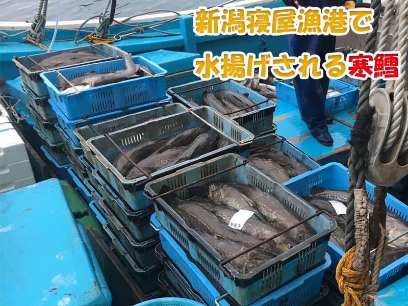 日本海の獲れたて寒鱈